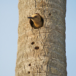 A common woodpecker peaks out from his hole in a dead palm tree in Costa Rica.