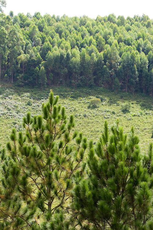 Santos Dumont_MG, Brasil...Pinheiros em uma paisagem proximo a Santos Dumont...The pine trees in the landscape next to Santos Drumond...Foto: LEO DRUMOND / NITRO