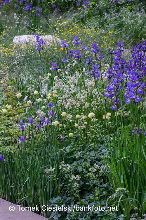 Green Yellow White Blue Planting combination with hardy geraniums, Iris siberica, Trollius and Astrantias.
