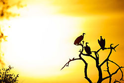 Apr 2, 2015 - Africa - Silhouette of a Lappet-faced Vulture (Torgos tracheliotos) against a golden African sky. Lappet-faced Vultures are listed as Vunerable by the IUCN. (Credit Image: © Shannon Benson/VW Pics/ZUMAPRESS.com)