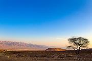 Israel, Negev Desert landscape lone Acacia tree blue sky