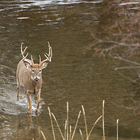whitetail deer in water