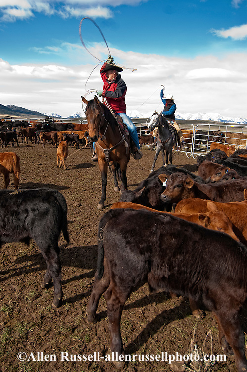 Cowboys rope and drag calves to the fire to be branded, Wilsall, Montana, MODEL RELEASED, PROPERTY RELEASED