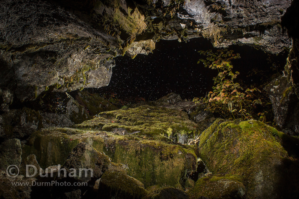 At the entance to a lava cave at 2:44am, a bushy-tailed woodrat (Neotoma cinerea) is visible. This cave is on the outskirts of the Big Lava Bed in the Gifford Pinchot National Forest in the southwestern area of the State of Washington.