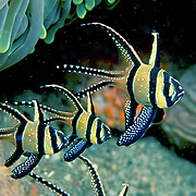 Banggai Cardinalfish inhabit shallow patch reefs and rubble. Picture taken Lembeh Straits, Sulawesi, Indonesia.