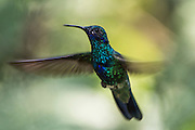 Sparkling Violetear  (Colibri coruscans)<br /> Mindo<br /> Cloud Forest<br /> West slope of Andes<br /> ECUADOR.  South America<br /> HABITAT & RANGE: