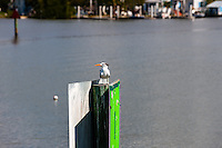 US, Florida. Ten Thousand Islands, Everglades. Royal Tern outside Everglades City..
