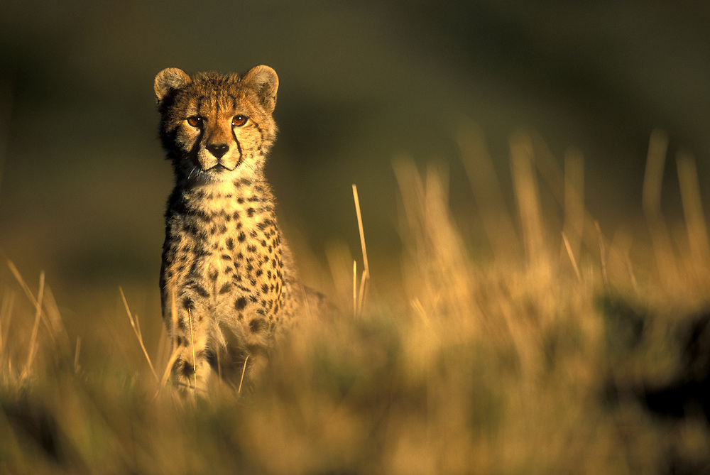 Africa, Kenya, Masai Mara Game Reserve, Cheetah cub (Acinonyx jubatas) in short grass on savanna at dawn
