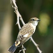 Common Stonechat Saxicola torquata. Female non-breeding. Phetchaburi, Thailand.