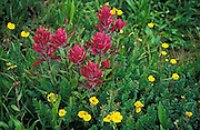 Indian paintbrush, close up, colorado