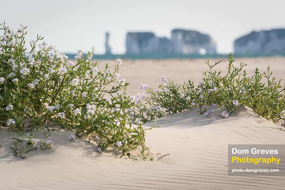 Sea Rocket grows on the beach at Studland, Dorset, UK with Old Harry Rocks in the distance.