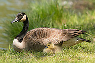 Middletown, New York - A Canada goose and gosling sit in the grass by the lake at Fancher-Davidge Park on May 10, 2015.
