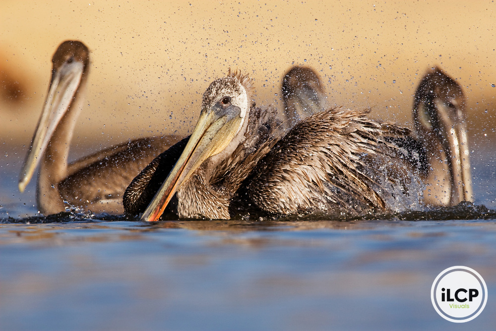 Brown Pelican (Pelecanus occidentalis) sub-adult bathing, surrounded by juveniles, Santa Cruz, Monterey Bay, California