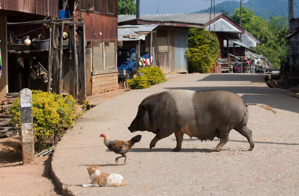 Pig, chicken and puppy on a typical Thai village road, Ban La Up, Mae Hong Son Province, Thailand