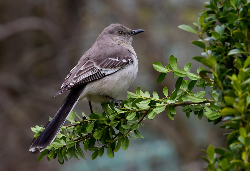 A mockingbird in a bush behind the lily pond area.