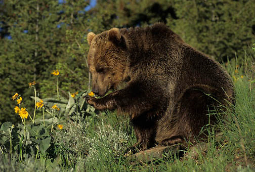 Grizzly Bear, (Ursus horribilis) Montana. Grizzly bear  eating flowers. Captive Animal.