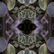 Computer abstract of altered and enhancement of succulent plants as digital computer art.<br /> <br /> Two or more layers were used to enhance, alter, manipulate the image, creating an abstract surrealistic mirrored symmetry. <br /> <br /> ___________________________________________________________<br /> <br /> Succulent plants, also known as succulents, are plants that have some parts that are more than normally thickened and fleshy, usually to retain water in arid climates or soil conditions.