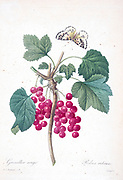 19th-century hand painted Engraving illustration of a Red currant (Ribes rubrum) and butterfly  by Pierre-Joseph Redoute. Published in Choix Des Plus Belles Fleurs, Paris (1827). by Redouté, Pierre Joseph, 1759-1840.; Chapuis, Jean Baptiste.; Ernest Panckoucke.; Langois, Dr.; Bessin, R.; Victor, fl. ca. 1820-1850.