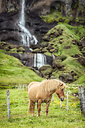 Icelandic horse and a waterfall in a beautiful Scandinavian landscape.