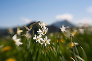 A field of narcissus in bloom with mountains visible behind at Les Pléiades, near Montreux, Switzerland.
