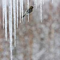 A red poll clings to an icicle to rest during a cold snap in Wasilla, Alaska.
