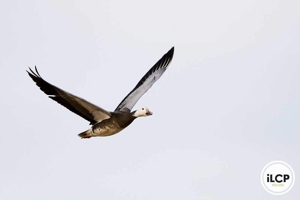 Snow Goose (Chen caerulescens) blue morph flying, Bosque del Apache National Wildlife Refuge, New Mexico
