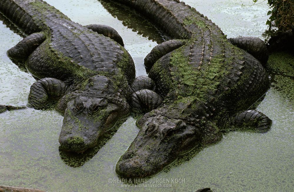 Vereinigte Staaten von Amerika, USA, Florida: amerikanischer Mississippi-Alligator (Alligator mississippiensis). Paar liegt Seite an Seite in flachem Wasser. | United States of America, USA, Florida: American Alligator, Alligator mississippiensis, couple laying side-by-side in shallow water. |