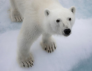We traveled in a small ice breaker ship in the Barents Sea off of the east coast in Nordaustlandet Svalbard in August 2017.  A guide spotted this polar bear in the pack ice.  The ship stopped so we could observe the bear who became curious and approached the ship walking around and examining us.