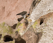 Peregrine falcon just landed on a ledge on a cliff, © 2015 David A. Ponton, [Prints to 8x10, 16x20, 24x30, or 40x50 in. with no cropping]