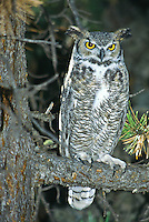 Great Horned Owl (Bubo virginianus)  large owl with widely spaced ear tufts.  Habitat is extremely varied: woods, plains, deserts, suburbs, farmlands.