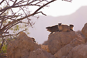 Rock Hyrax, (Procavia capensis). Photographed in Israel, Judean Desert, In January