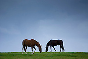 Horses grazing, Cirencester, Gloucestershire, United Kingdom