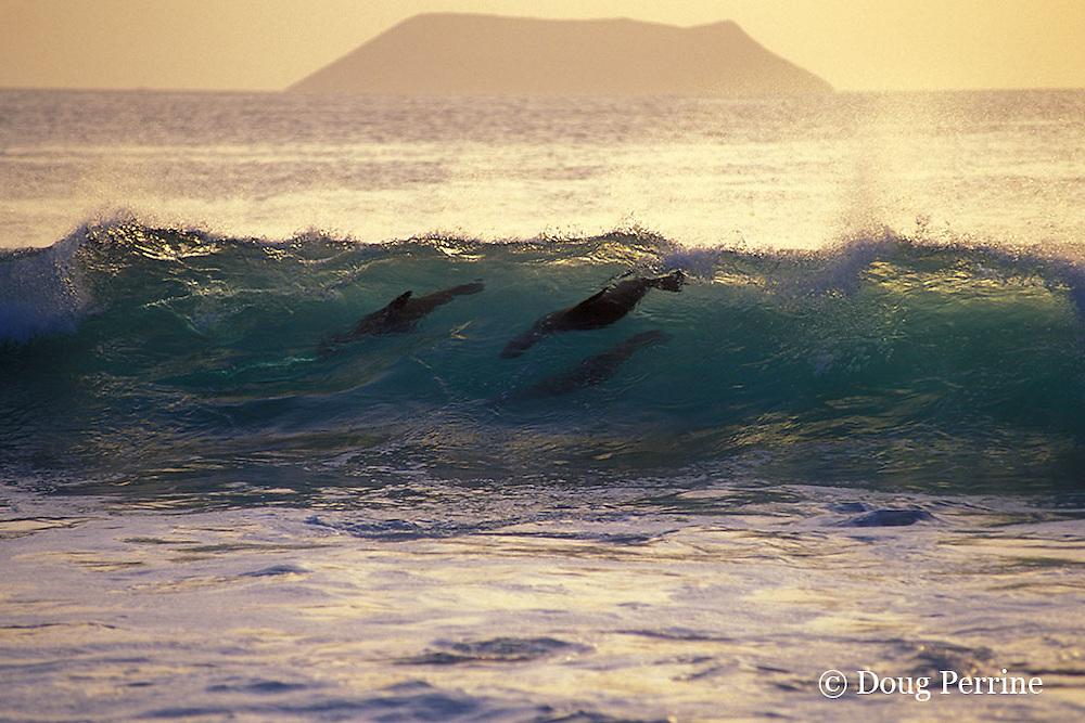 Galapagos sea lions surfing, Zalophus californianus wollebaeki, Galapagos Islands, Ecuador, ( Eastern Pacific )