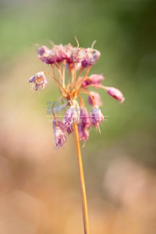 Clamatis heracleifolia 'China Purple'