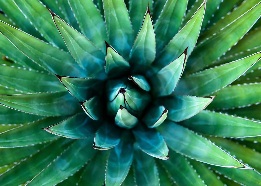 An agave rosette in Grand Canyon National Park.