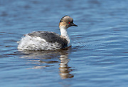 Silvery Grebe (Podiceps occipitalis) from a freshwater lake at Sea Lion Island, the Falklands