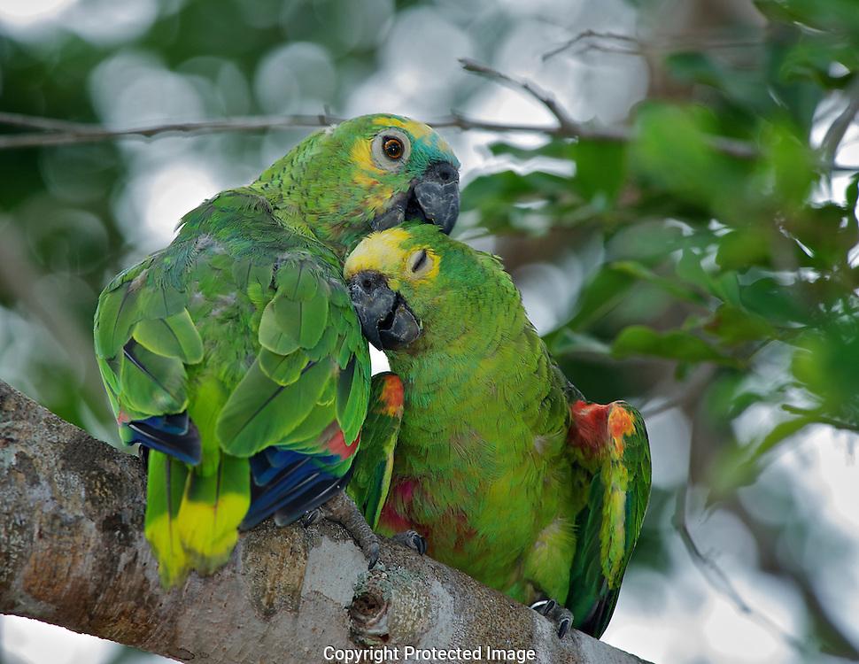 Blue-Fronted Amazon Parrot. (Amazon aestiva), Araras Eco Lodge, Sao Paulo, Brazil, Isobel Springett