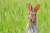 Rabbit munching tall grass along the road.
