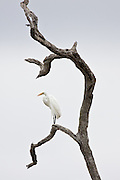 Great-White Egret