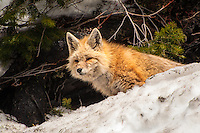 A red fox shedding its white winter coat on a warm spring day on Mount Rainier. As the days become warmer, its coat will get redder.