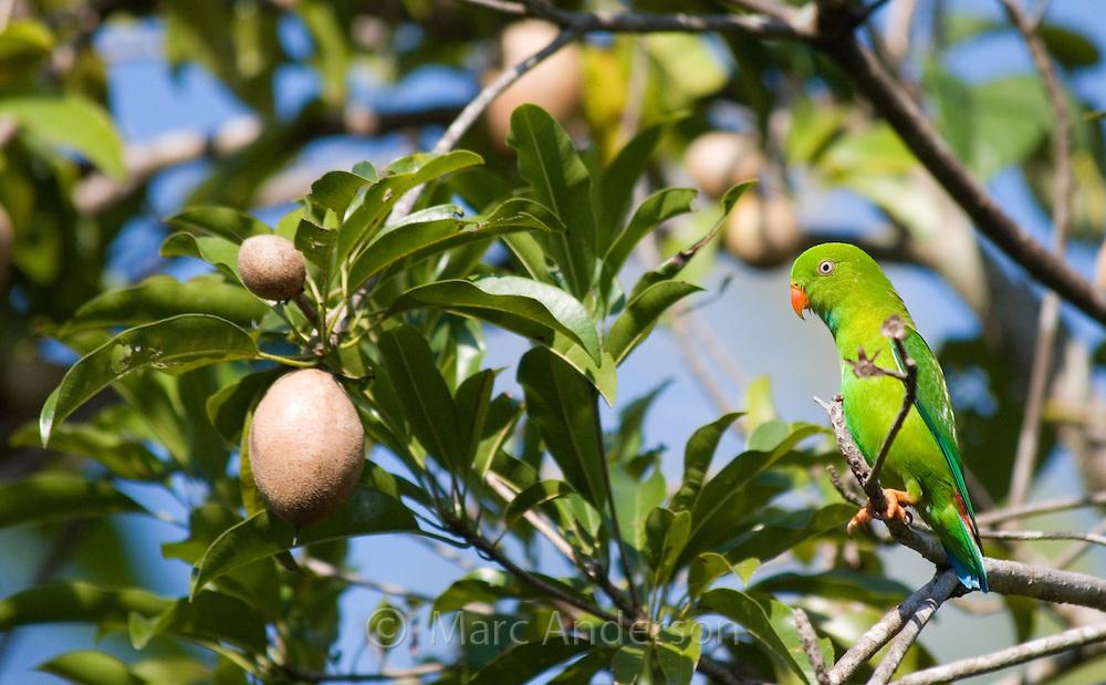 Vernal Hanging Parrot, Loriculus vernalis, in a longan fruit tree, Thailand