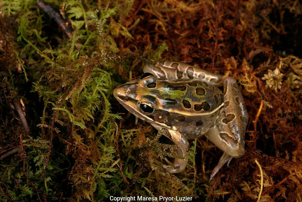 Leopard Frog, Rana sphenocephala, Central Florida