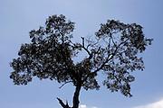 Jeceaba _ MG, Brasil...Silhueta de uma arvore em Jeceaba, Minas Gerais...The tree silhouette in Jeceaba, Minas Gerais...Foto: BRUNO MAGALHAES / NITRO