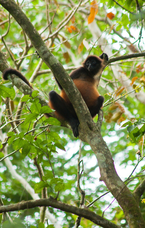 Spider monkey at Lapa Rios Ecolodge, Osa Peninsula, Costa Rica