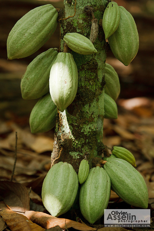 Cocoa pods on a tree in a plantation near the town of Moussadougou, Bas-Sassandra region, Cote d'Ivoire on Tuesday March 6, 2012.