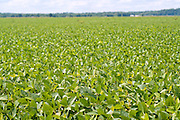 Soybean plants grow in a field against a cloudy blue sky.