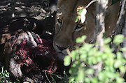 Kenya, Masai Mara, Lioness eats her hunted animal