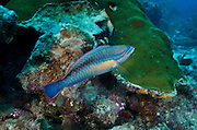 Princess Parrotfish (Scarus taeniopterus)<br /> BONAIRE, Netherlands Antilles, Caribbean<br /> HABITAT &amp; DISTRIBUTION: Reefs<br /> Florida, Bahamas, Caribbean &amp; Bermuda