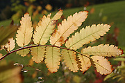 Rowan (Sorbus aucuparia), European Rowan, Mountain ash, or European mountain ash, is a species of the genus Sorbus, native to most of Europe (except for the far south), and northern Asia.