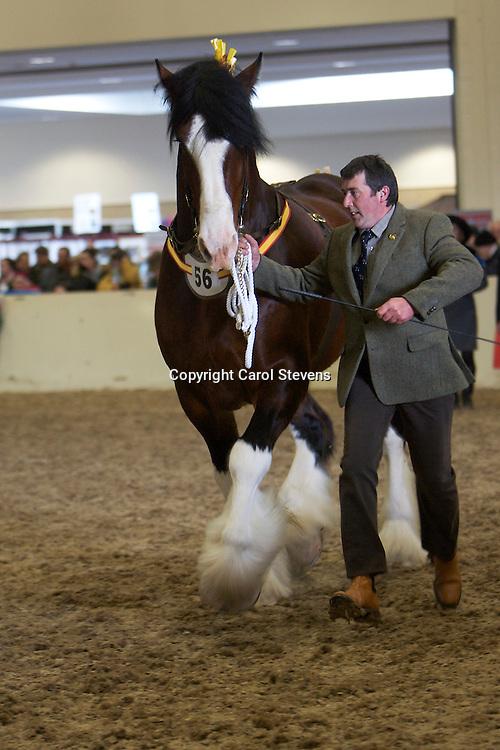 Mr L E Harrison's  Bay Stallion  Cumeragh House Desperate Dan  f 2008  <br /> s   Trem-Y-Wyddfa Mascot<br /> d   Cumeragh House Miss Kitty<br /> Bred by  owner